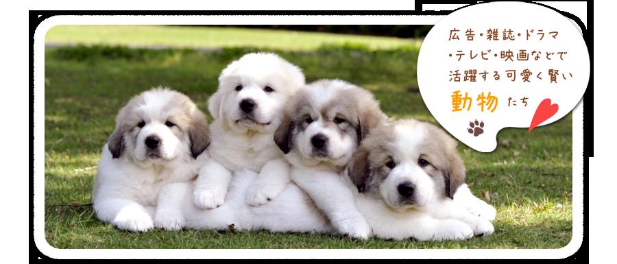 動物プロダクション・東京・千葉・グレートピレニーズ犬舎|ホワイトスプレンダートップ画像