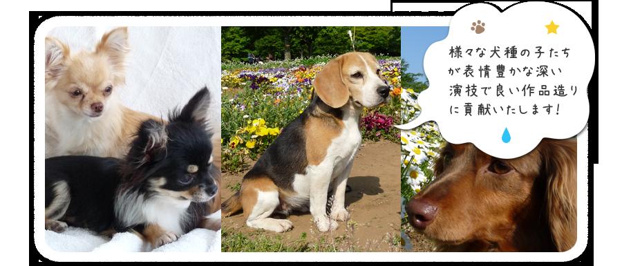 動物プロダクション・東京・千葉・グレートピレニーズ犬舎|ホワイトスプレンダートップ画像2