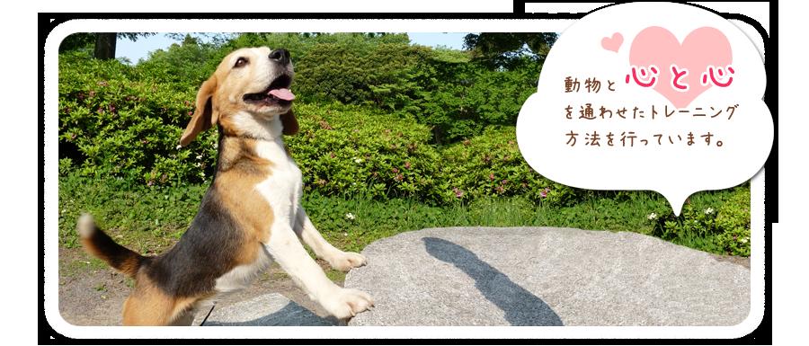 動物プロダクション・東京・千葉・グレートピレニーズ犬舎|ホワイトスプレンダートップ画像3